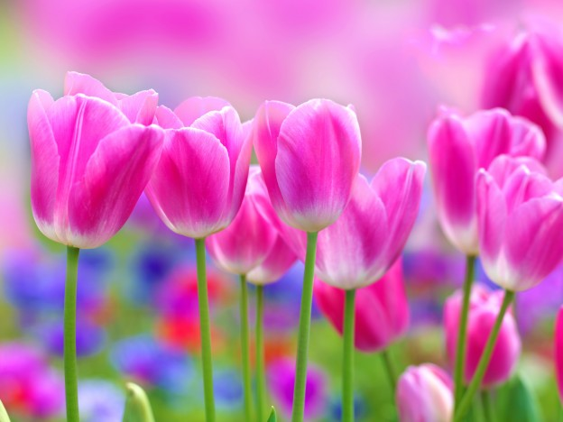 flowers-pink-tulips-photo-focus-full-hd-background-hd-wallpaper
